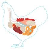 Анатомия цыпленка вектора Пищеварительная система стоковые фотографии rf