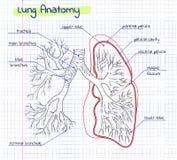 Анатомия чертежа человеческого легкего Стоковое Изображение