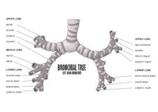 Анатомия человека бронха бронхиального дерева левая главная Стоковая Фотография