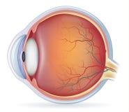Анатомия человеческого глаза иллюстрация штока
