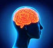 Анатомия человеческого мозга Стоковое фото RF