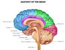Анатомия человеческого мозга Стоковые Фото