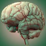 Анатомия человеческого мозга Стоковое Изображение RF