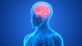 Анатомия человеческого мозга Стоковое Изображение