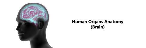 Анатомия человеческого мозга Стоковая Фотография