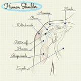 Анатомия человеческого плеча Стоковые Фотографии RF