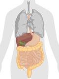 Анатомия человеческого тела - пищеварительная система Стоковая Фотография