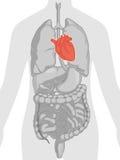 Анатомия человеческого тела - сердце Стоковые Фото