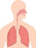 Анатомия человеческого тела - дыхательная система Стоковое Изображение RF