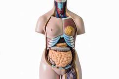 Анатомия человеческого тела Стоковые Фотографии RF