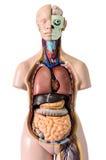 Анатомия человеческого тела Стоковые Изображения