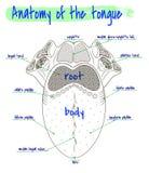 Анатомия человеческого языка Стоковое Изображение RF