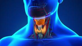 Анатомия человеческой гортани - медицинская развертка рентгеновского снимка иллюстрация вектора