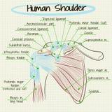 Анатомия человеческой детали плеча Стоковое Изображение RF