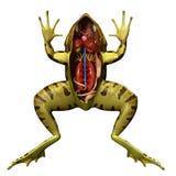 Анатомия лягушки Стоковое Изображение