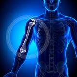 Анатомия Humerus/руки - косточки анатомии бесплатная иллюстрация