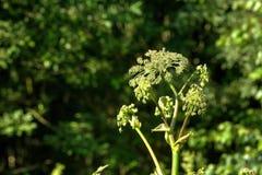 ангела зацветая день field лето sally цветка fireweed сельское Стоковая Фотография RF