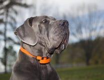 Ангеликовая смотря собака Стоковая Фотография