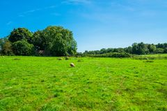 Английская сельская местность в Норфолке Овцы пася в лужке Стоковые Фотографии RF