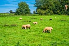 Английская сельская местность в Норфолке Овцы пася в лужке Стоковые Изображения RF