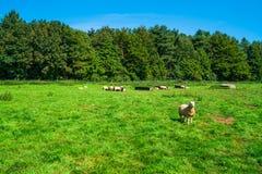 Английская сельская местность в Норфолке Овцы пася в лужке Стоковые Изображения