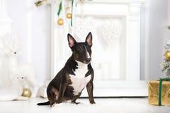 Английская собака терьера быка представляя для рождества Стоковая Фотография