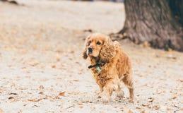 Английская собака spaniel кокерспаниеля бежать на пляже стоковые фотографии rf
