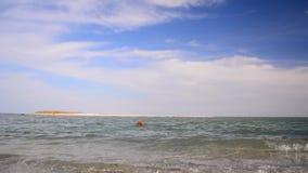 Английские заплывы Spaniel кокерспаниеля в море Собака на побережье сток-видео