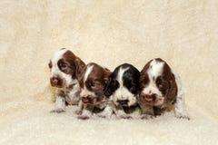 Английские щенята собаки Spaniel кокерспаниеля Стоковое Фото
