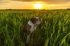 Английский бульдог наслаждается заходом солнца на поле Стоковые Фото