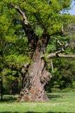 английский дуб pedunculate Стоковое Фото