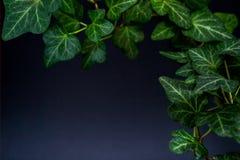 Английский плющ с ярко богатыми зелеными листьями на темной предпосылке Винтовая линия Hedera стоковая фотография