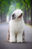 английский старый sheepdog стоковая фотография rf
