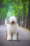английский старый sheepdog стоковая фотография