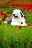 английский старый sheepdog стоковые изображения rf