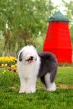 английский старый sheepdog стоковое изображение