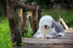 английский старый sheepdog стоковое фото rf