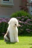 английский старый sheepdog Стоковое Изображение RF