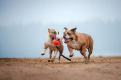 Английский терьер бульдога и быка играет с шариком Стоковые Фото