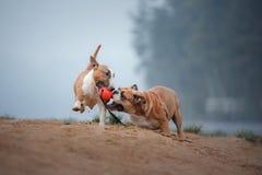 Английский терьер бульдога и быка играет с шариком Стоковые Изображения