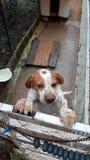 Английский указатель - собака бигля стоковая фотография rf