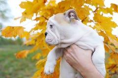 Английский щенок бульдога - на фоне дерева клена в осени Взгляд со стороны Стоковые Фотографии RF