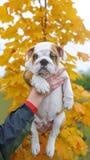 Английский щенок бульдога Стоковые Фотографии RF