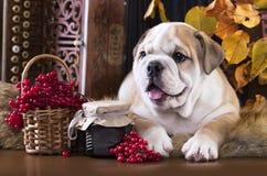 Английский щенок бульдога стоковые изображения