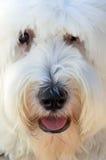 английский sheepdog стоковое изображение rf