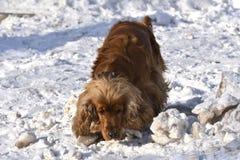 Английский Spaniel кокерспаниеля в снеге стоковая фотография rf