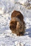 Английский Spaniel кокерспаниеля в снеге стоковое изображение rf