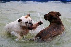 2 английских бульдога в бассейне Стоковая Фотография