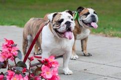2 английских бульдога или великобританских бульдоги в парке Стоковая Фотография