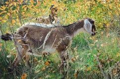 Англо-Nubian коза есть траву в луге стоковая фотография